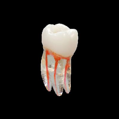 Endodontyczny model zęba VDW